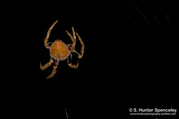 Nocturnal Orb Weaver
