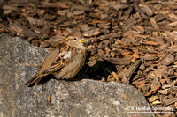 House Sparrow taken in NY
