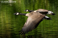 Canada Geese taken in NY