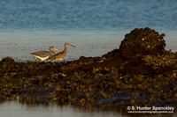 Whimbrel & Tricolored Heron