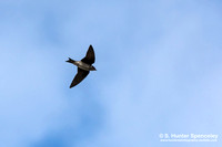 Martins & Swallows (Hirundinidae)