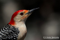 Woodpeckers (Picidae)