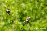 Eastern Phoebes (taken in NY)