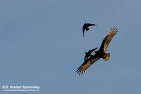 Turkey Vulture being harassed by Crows