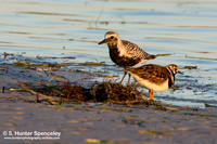 Black-bellied Plover & Ruddy Turnstone