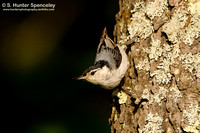White-breasted Nuthatch (taken in PA)
