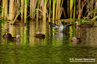 Mottled/Mallard hybrids & Blue-winged Teal