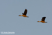 Fulvous Whistiling Ducks